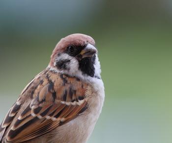 日本でよく見かける野鳥の代表といえばこちらの「スズメ」。夕方近くになると群れで飛んでいる様子を見かけます。冬は防寒対策のため羽毛をふくらませて空気を蓄えるので、ふっくらして見えます(俳句の季語:ふくら雀)が、夏場はほっそりとしていて、別人(別鳥?)のような変身を見せます。
