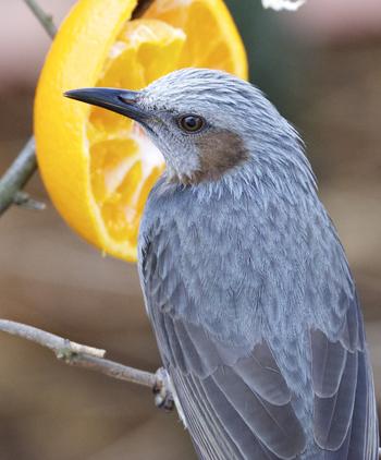 ピーヨピーヨと大きな声で鳴きながら、スイスイと波型に飛んでいく鳥はこちらのヒヨドリです。スズメより大きく、鳩より小さく細身の鳥です。果物や実が好きで、食べているところを見かけることも多い鳥です。