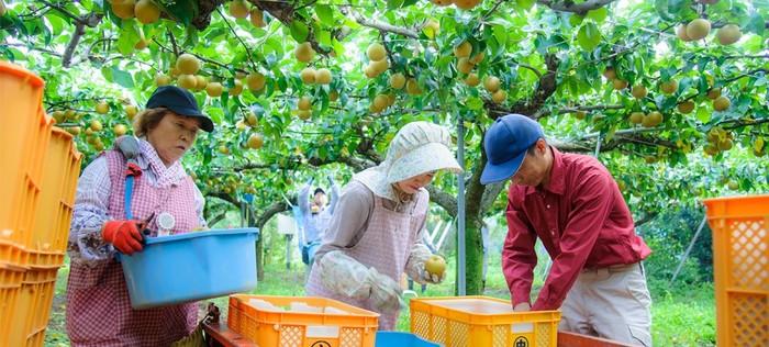 やさしい甘さが特徴の梨ジャムは、日田市で梨農家「芳香園」の3代目である中間朋海氏の「生果は限られた期間にしか出せないけど、一年中日田の梨の美味しさを感じてもらいたい」という想いから生まれました。