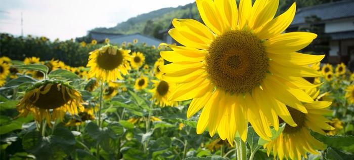夏に美しい光景を展開してくれる国東のひまわり畑。実はこちらは国東市の休耕地にひまわりを植え「環境と経済が循環する仕組みを作ろう」という、くにさきエコシステムの取り組みによるもの。