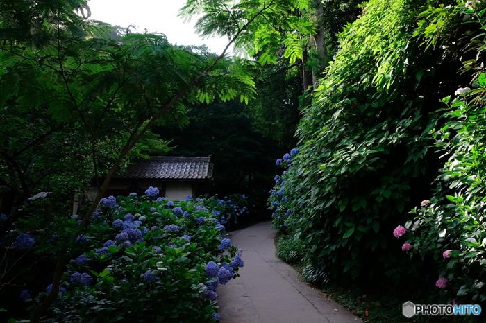 神奈川県鎌倉市にある明月院は、神奈川県屈指のアジサイの名所であり、「あじさい寺」の異名を持つほどです。境内には青色をしたアジサイが綺麗な花を咲かせ、訪れる人を魅了します。