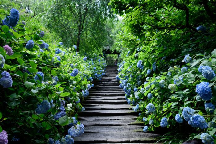 山門へと続く道の美しさは格別です。風情ある石段の両横には、幾本ものアジサイが競うように花を咲かせており、絵画のように素晴らしい景色が広がっています。