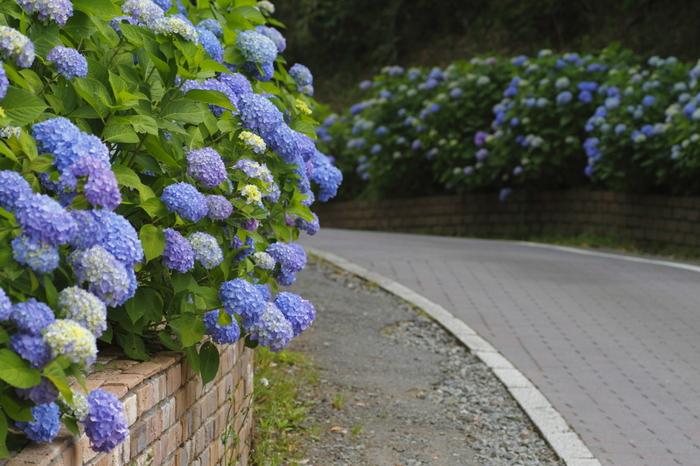 花まつりが開催される春のポピーと、秋のコスモスが特に有名ですが、6月下旬ころになると園内のアジサイが見ごろを迎えます。約1200株ものアジサイが見事な花を咲かせ、初夏ならではの美しい景色を臨むことができます。
