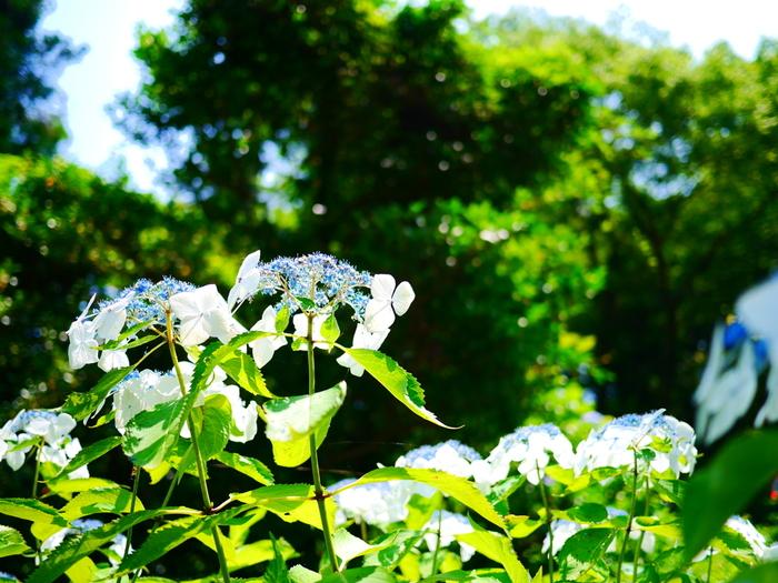 梅雨の時期となる6月下旬頃になると、境内は鮮やかな緑に染まります。群生はしていないものの、山門近くや仏殿近くなどにアジサイが可憐な花をさかせ、円覚寺境内に華を添えています。