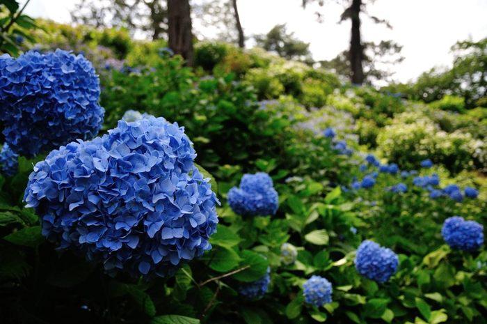 小田原城本丸東堀には花菖蒲園があり、梅雨の時期になるとアジサイが一斉に花を咲かせます。アジサイの開花に合わせて「小田原城あじさい花菖蒲まつり」が開催され、小田原城址公園は、活気に満ちあふれます。
