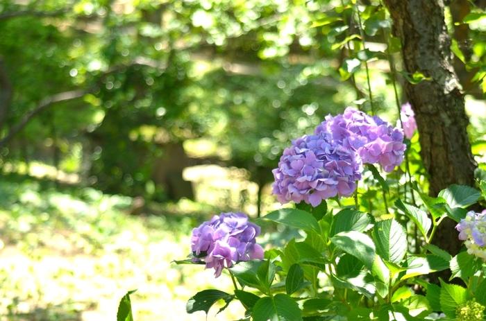 四季折々で美しい景色を見せてくれる三渓園では、一年を通じて色とりどりの花が咲いています。毎年梅雨の季節になると、アジサイや花菖蒲が美しく彩り、鮮やかな緑に染まった園内の美しさを引き立てています。