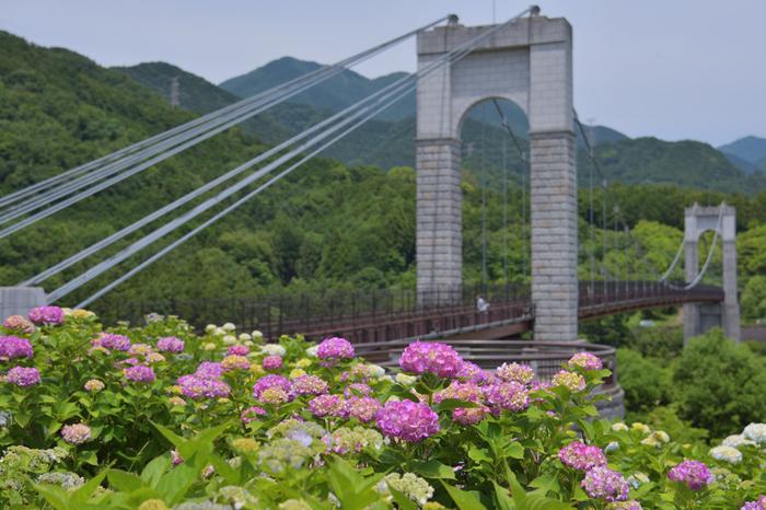 毎年梅雨の時期になると、風の吊橋を背景に、アジサイが次々と花を咲かせ、丹沢山地麓に広がる美しい自然と融和して風光明美な景色を作り出しています。