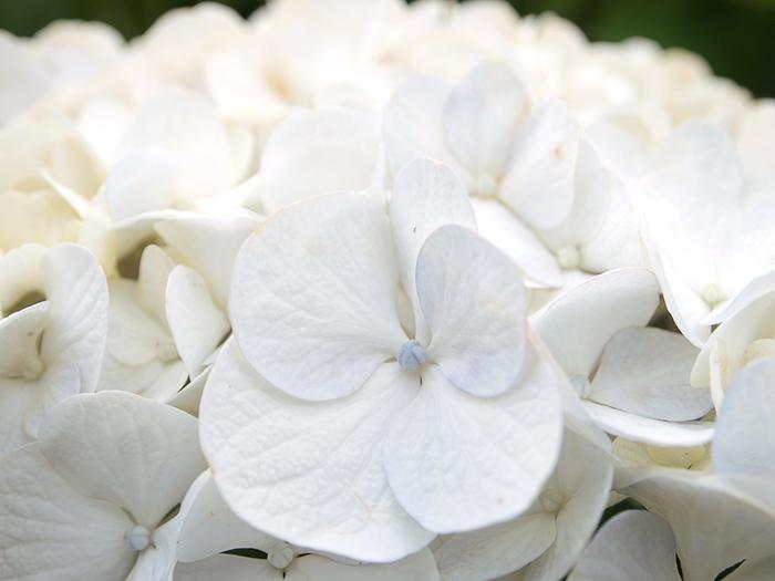 紫がかったピンク色と、淡いブルー色をした花というイメージが強いアジサイですが、秦野戸川公園には珍しい白いはなびらを持つアジサイを見かけることができます。