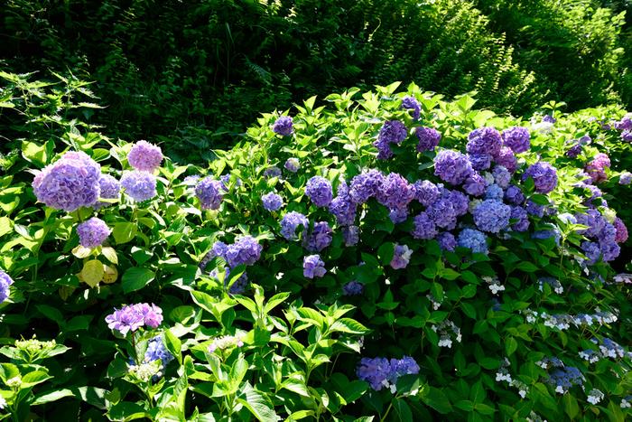不動明王をご本尊として祀る成就院は、神奈川県鎌倉市にある真言宗の寺院です。参道には、262株のアジサイが植えられており、6月頃になると次々と花を咲かせます。