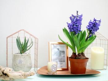 紫のヒヤシンスとアロエをお気に入りの雑貨と共にディスプレイ。ベッドルームがヒヤシンスの香りでいっぱいに♪