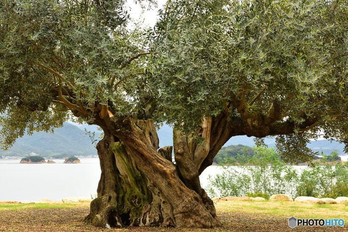 樹齢1000年のオリーブの大樹。 小豆島は、日本で初めてオリーブ栽培に成功した島です。オリーブの樹々と海の風景も心和む景色です。