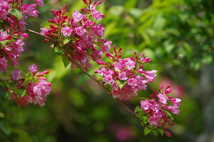 【「三室戸寺」のタニウツギ。タニウツギは沢や谷間等水が流れる所に自生する低木で、紫陽花が咲き始める初夏が見頃。】