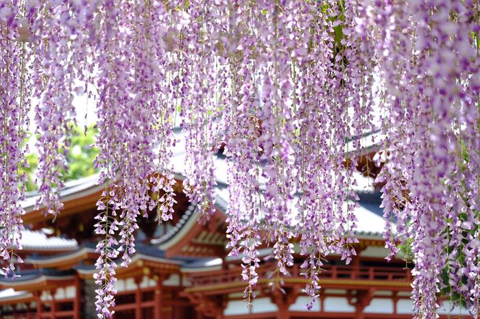 宇治川の西岸に在する、世界遺産「宇治平等院」も、花の名所。 鳳凰堂の横にある藤棚は、京都でも屈指の見事さです。見頃は、例年4月末から5月初旬。ちょうど、ツツジが盛りとなる時期と重なります。花好きでこの時期に旅するのなら、ぜひ訪ねてみましょう。