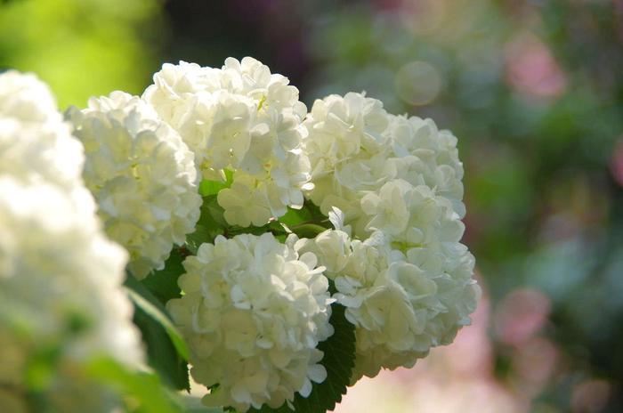 【清楚で華やかな「大手鞠(オオデマリ)」は、紫陽花によく似ていますが、スイカズラ科の植物で、紫陽花よりも一月ばかり早く開花し、ツツジと見頃が重なります。】