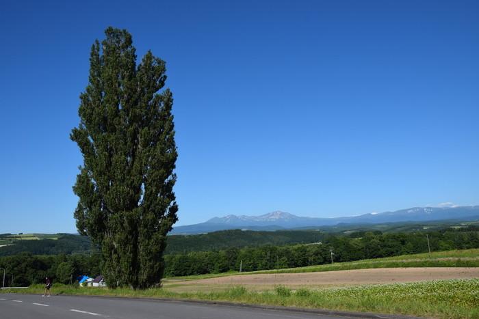 JR美瑛駅から車で5分ほどの距離にある大きなポプラの木。こちらは1972年、日産自動車の「愛のスカイライン ケンとメリー」のコマーシャルの撮影に使われたことから一躍有名になりました。一躍有名になったことから「ケンとメリーの木」と名付けられたそうです。