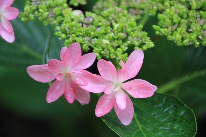 【「ガクアジサイ」。西洋アジサイ、ガクアジサイといっても、種類は実に多く、色もそれぞれに異なります。紫陽花は、特にフォトジェニックな花姿です。お気に入りの一枚をぜひ撮って下さい。】