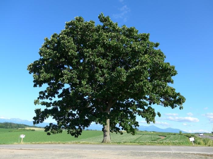 こちらも同じく、1976年にタバコのセブンスターのパッケージに使用されたことで有名になった大きなカシワの木。