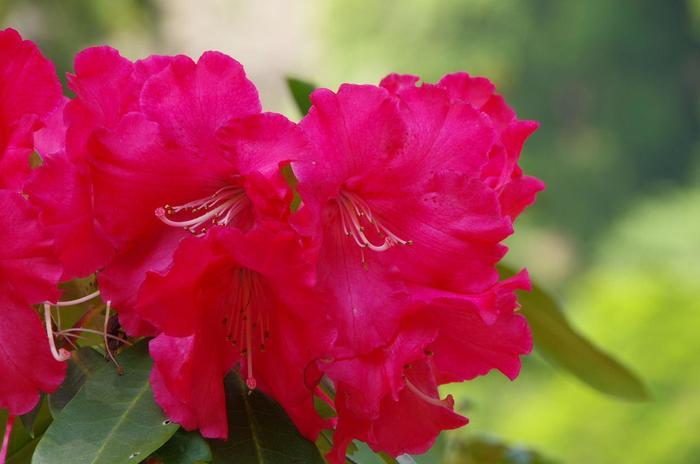 【ツツジの親戚筋にあたる「石楠花(シャクナゲ)」は、本来山間に咲く花。花も葉ツツジと似ますが、ツツジより花は大きく、花ぶりも華やかです。】