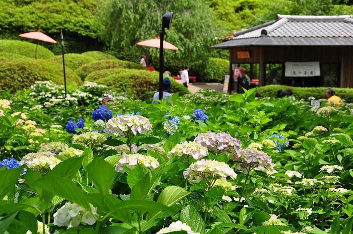 ツツジ園、アジサイ庭園が開いている期間は、三室戸寺境内で花を眺めながら食事や甘味が楽しめる「花の茶屋」が営業します。