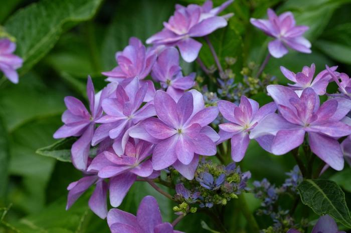 【紫色の淡い濃淡が可憐な「額紫陽花(ガクアジサイ)」】
