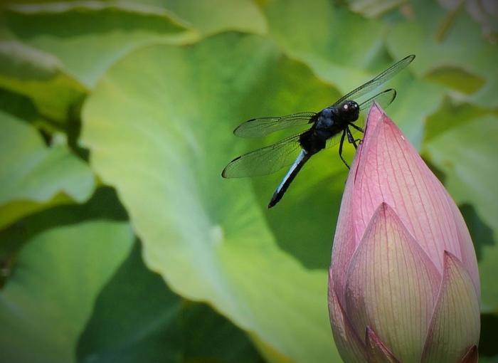 【東洋の美を感じさせる「蓮の花」もフォトジェニック!】
