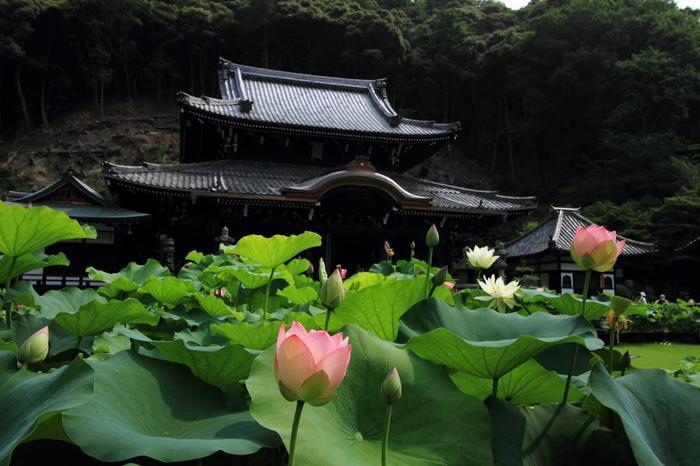 【本堂と蓮園。江戸期(1805年)に建立された重層入母屋造の本堂には、秘仏の本尊・千手観音立像の御前像(本尊と同型の像)が安置されています。】