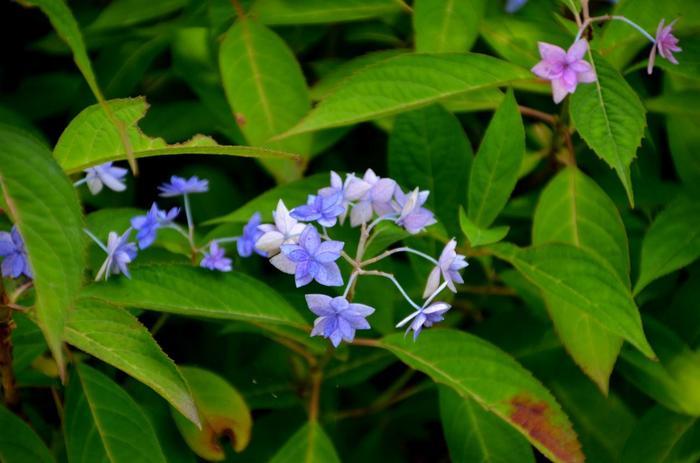 """【ヤマアジサイの一種『七段花(シチダンカ)」』。江戸期に著されたシーボルトの日本植物誌に登場する「七段花」は、長い間国内で発見されず""""幻の花""""と云われてきました。発見されたのは、1959年の戦後のことで、兵庫県内で学校職員によって見つかりました。現在では、人気の高いアジサイ種の一つとなっています。】"""