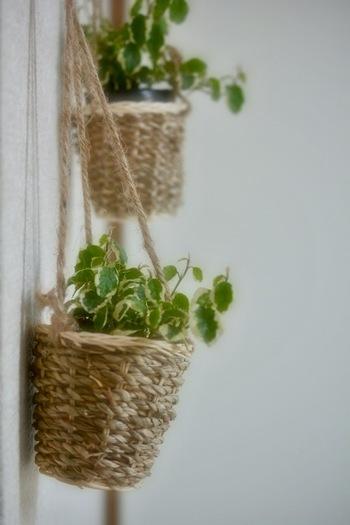 出窓のちょとしたスペースでは物足りないのなら、蔓性の観葉植物を天井や棚から吊り下げてみましょう。  特に窓辺の上部は温かいので、寒さに弱い観葉植物は吊り下げて楽しみましょう。