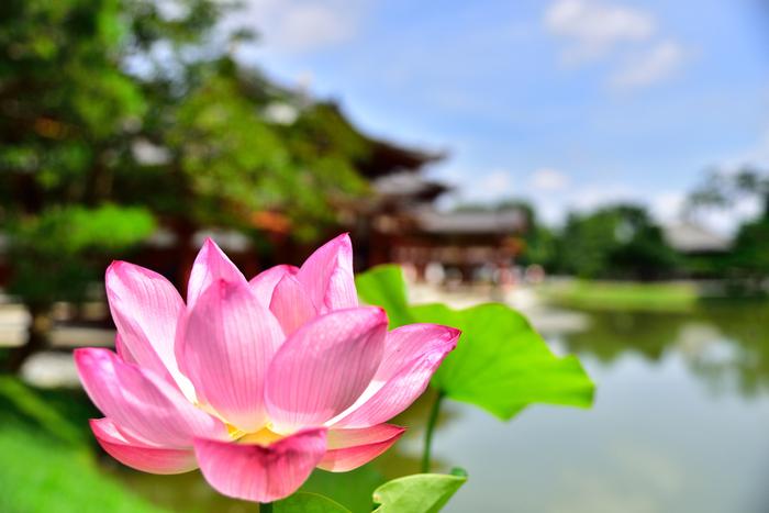 極楽浄土に咲くとされている蓮。平等院でもその可憐な姿を見ることができます。6月下旬から8月上旬頃が開花時期ですが、午後には花が閉じてしまうので、蓮の咲いている姿を見るには午前中に行くようにしましょう。