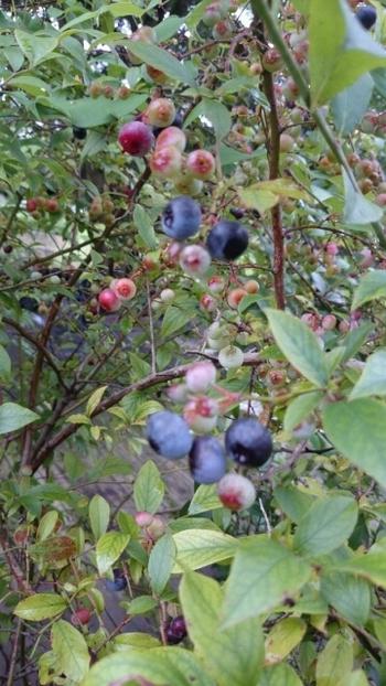 庭先にはブルーベリーなどがたわわに実ります。自然の中のひと時を感じることが出来ます。