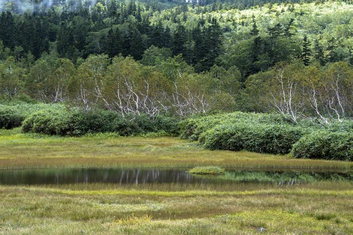 白馬村のお隣・小谷村の標高1900mに位置する栂池自然園には美しい湿原が広がり、ふわふわとした綿のような花が咲くワタスゲやミズバショウ、ニッコウキスゲなど、様々な植物が咲き誇ります。晴れた日にはバッグに白馬の山々を望むこともできますよ。