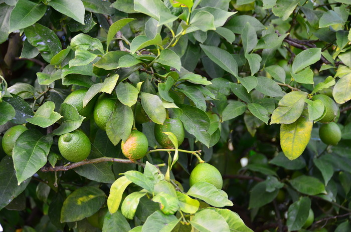 レモンの輸入自由化により一時低迷したものの、防かび剤を使わない安心なレモンを求める声があることを背景に、皮まで食べられるレモンの産地として復活しました。