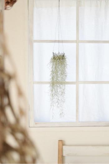 窓辺にグリーンを飾るのに、ピクチャーレールは便利なんですよ。片手でするする移動出来て、風に揺れるグリーンが心地いい空間になるんです。