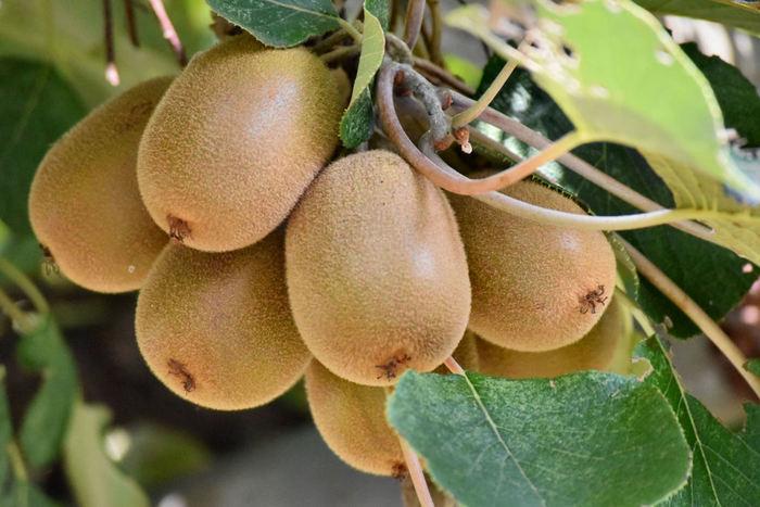 キウイも1年中出回っていますが、ニュージーランド産のキウイは春から初夏が旬です。ハーフカットで手軽に食べてももちろんおいしいですが、ちょっとしたアレンジを加えて色々な楽しみ方をしてみてください。