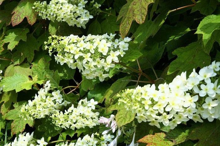 北アメリカ東部原産。花は後出の『ピラミッド』とよく似ていますが、葉の形状が柏と似ていることからこの名称に。白→ライムグリーン→ピンク→秋色に変化します。