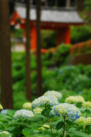 """素晴らしい""""花景色""""を眺めに、宇治「三室戸寺」へお出で下さい。きっと、心に残る素敵な旅が出来るはずです。"""