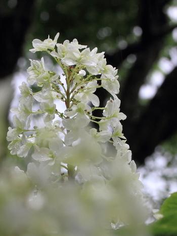 日本の山地に自生するノリウツギの仲間で、6月ごとに開花することから水無月の別称があります。咲きはじめは淡いグリーン。咲き進むにつれて白くなった後、退色してライムグリーンに。