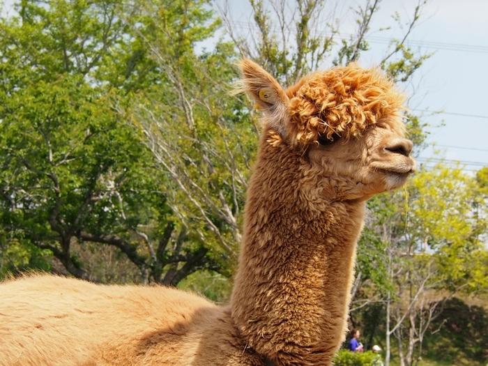 人気の「マザーファームツアー」では、ツアーガイドの案内のもと、たくさ~んの動物たちとふれあえます! 大人気のアルパカちゃんもツアーで会えますよ♪