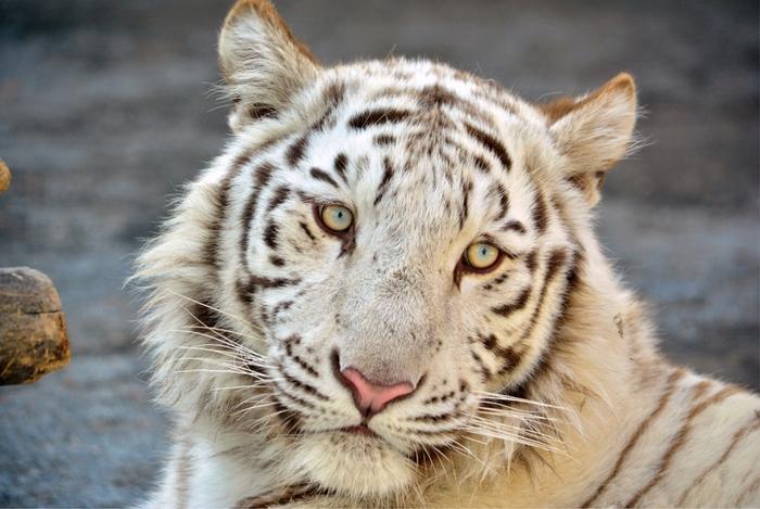 東武動物公園の人気者、ホワイトタイガー。優雅で迫力あるたたずまい。