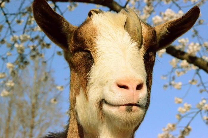 にっこり笑っているような表情のヤギさんにほっこり。エサやりも出来ますよ。