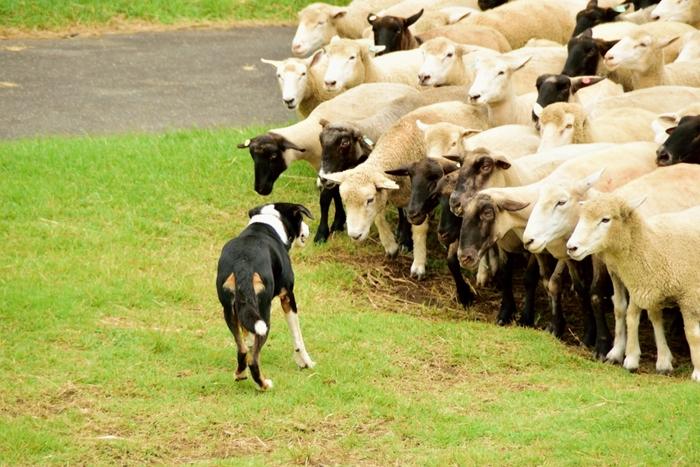 約150頭の羊たちの大行進は、見ごたえたっぷり。「シープショー」では、羊の毛刈りが見られます。