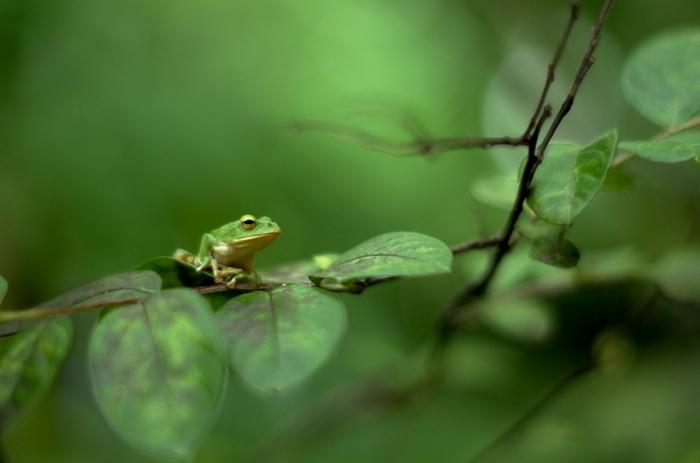 緑の中にぼんやりと浮き上がる緑のカエル。何か物言いたげなカエルがとってもキュートですね。(Leica  T701)