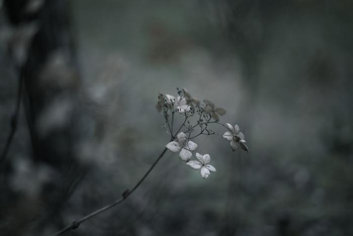 寂しげに咲く、額紫陽花。写真の色味、そして柔らかなボヤけ具合で、センチメンタルな風景を表現しています。(Leica M240)
