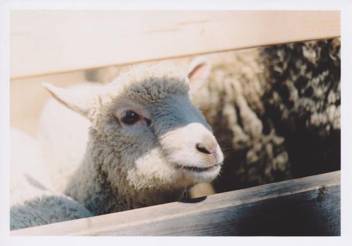 うるうるつぶらな瞳の子羊さん。可愛すぎて胸キュンです♡