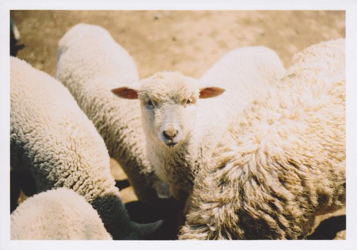羊やヤギやウサギなどかわいい動物たちにえさをあげられます。放羊犬の羊の追い込みショーは、迫力満点です。