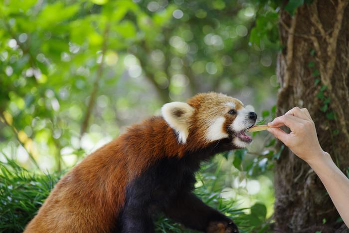 自然溢れる環境で、生き生きと暮らす動物たちの姿が見られます。ぬいぐるみのようなレッサーパンダ!