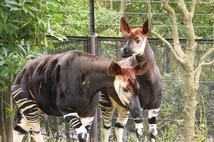 ズーラスアの顔と言えばやはりオカピでしょう!日本の動物園では、上野動物園、横浜市立金沢動物園、ズーラシアの3園のみでしか飼育されておらず、3世代繁殖に成功しているのはズーラシアだけとなっています。