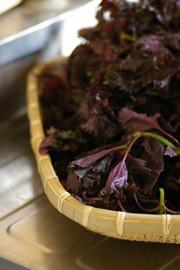 梅雨の時期になると、梅干しを漬けるたの赤紫蘇(赤しそ)が八百屋さんやスーパーに良く出まわります。
