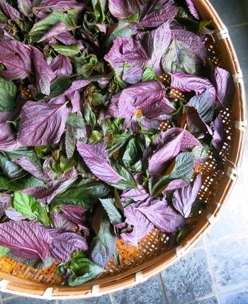 青じそと赤じその大きな違いは、シソニンの有無、ベータカロチンの含有量が多いのは青じそ、ポリフェノールの一種・ロズマリン酸が多く含まれているのは赤じそ、ということだけで、他の栄養素にほとんど差はありません。いずれも、紫蘇には下記のような注目成分がたっぷり含まれている、美容にも嬉しい優秀食材なのです!