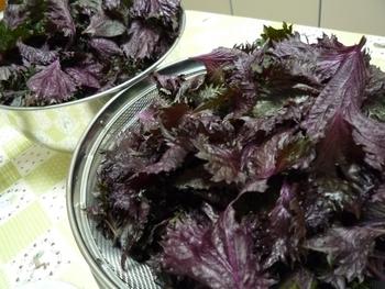 赤シソの葉っぱをちぎります。よく水洗いして水気を切っておきましょう。
